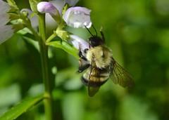 That is the question (dingmank13) Tags: bokeh bee pollen pollination flickrfriday beemacro beebokeh