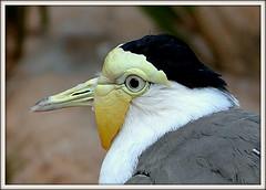 maskedlapwing soldatenkiebitz vanellusmiles birds vögel animals tiere lumix fz1000 panasonic lumixfz1000 leicavarioelmarit leica rolfbrecherberlin