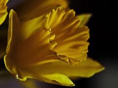 Pure Joy - Feb 2015 (GOR44Photographic@Gmail.com) Tags: flower macro yellow canon 100mm daffodil 5d canon100mm gor44