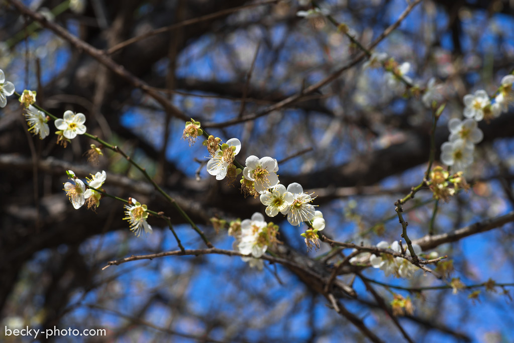2015.Jan Plum tree