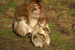 young & old - 2 monkeys - Barbary Macaques - Berberaffe (okrakaro) Tags: old 2 two nature animal germany zoo jung alt natur young monkeys zwei januar affen rheine barbarymacaques 2015 berberaffen