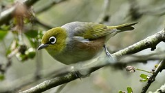 Silvereye (Rodger1943) Tags: silvereye whiteeye australianbirds 4kvideo fz1000