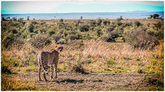 Cheetah in the Masai Mara Kenya ( - Ralf) Tags: lumix kenya wildlife panasonic kenia maasaimara kkalender