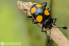 A Four-spotted Fungus Beetle (Erotylidae) (PF T.J.) Tags: wild orange macro nature four photography photo wildlife beetle ground spots fungus malaysia spotted dimension pixels learn coleoptera macrography tanji erotylidae tanjime