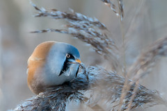 Baardman (Bearded Reedling) (Explore) (robvanderwaal) Tags: bird nature netherlands birds nederland vogels natuur vogel 2014 beardedreedling baardman panurusbiarmicus rvdwaal robvanderwaalphotographycom