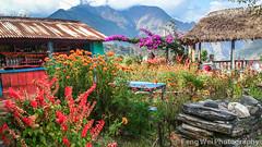 Roadside Flowers, Tatopani-Shikha, Annapurna Circuit, Nepal (Feng Wei Photography) Tags: travel nepal flower color floral horizontal rural asia outdoor scenic remote annapurnacircuit teahouse annapurna shikha bagmati annapurnaconservationarea