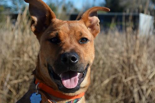 Happy Orange Dog