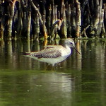 Tigüi-Tigüe Chico [Lesser Yellowlegs] (Tringa flavipes) thumbnail