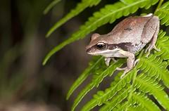 Green-thighed Frog (Litoria brevipalmata) (Gus McNab) Tags: frog litoria brevipalmata greenthighed