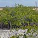 Mangroves along the shoreline of Storr's Lake (San Salvador Island, Bahamas) 1