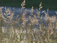 Quel foin ! * (Titole) Tags: sunlight grass grasses friendlychallenges titole nicolefaton
