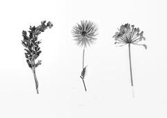 Garden weeds? (XPinger (Chris Sutton)) Tags: garden weeds triptych digitalcameraworld topazremask