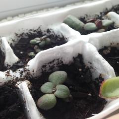 Baby Jade (heatherdawnplants) Tags: plants jadeplant succulents crassula houseplants ovata propagation