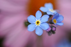 わすれなぐさ (勿忘草)/Myosotis scorpioides (nobuflickr) Tags: flower nature japan kyoto 日本 forgetmenot 花 myosotisscorpioides 勿忘草 thekyotobotanicalgarden waterforgetmenot 京都府立植物園 わすれなぐさ ムラサキ科ワスレナグサ属 20150302dsc04910