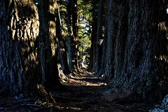 On the Port Hills (stephen trinder) Tags: trees winter light newzealand christchurch texture nature leaves landscape afternoon shadows path perspective walkway bark shade nz trunks kiwi aotearoa mothernature porthills christchurchnewzealand stephentrinder stephentrinderphotography