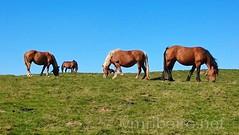 Caminho Francs de Santiago (vmribeiro.net) Tags: saintjeanpieddeport france frana saint jean pied port sony z1 caminho camino way jacques james santiago rota napoleo pirenus pyrenees mountain trail wild horses cavalos
