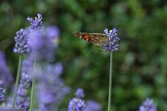 IMG_4909 (ElsSchepers) Tags: limburglavendel lavendelhoeve stokrooie kuringen hasselt natuur vlinders