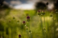 Loseley Park gardens (tonybill) Tags: flowers gardens july loseleypark nikkor50mmf12ais sonya7 sunshine surrey bokeh