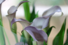 Calla Lilies (material grrrl) Tags: 365 callalily arumlily flower purple selectivefocus soft softness plant