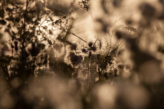 Weeds (' A r t ') Tags: arthurcammelbeeck cammelbeeck denmark flowersplants outdoor raw summer artcammelbeeck camelendk flowers nature weed wwwflickrcomphotosartcammelbeeck