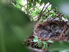 IMG_1185_Fotor (Ela's Zeichnungen und Fotografie) Tags: baby nest natur hannover vogel busch kcken