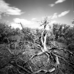 roots (Bernie Vander Wal) Tags: pinhole selfmadecamera shanghaigp3 hc110 standdeveloped