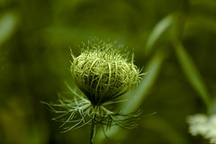Daucus carota subsp. carota (thmlamp) Tags: daucuscarotasubspcarota wildemöhre canoneos5dmarkiii ef70200mmf28lisiiusm ƒ35 2000mm 1640sec iso200