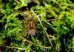 Trochosa terricola (LostnSpace2011 - Back) Tags: wolf spider macro 8legs arachnid