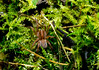 Trochosa terricola (LostnSpace2011- Back Soon) Tags: wolf spider macro 8legs arachnid