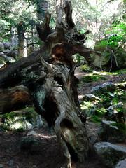 Y t..? Qu  imagnas..? (Olymbe) Tags: tronco formas bosque arbol