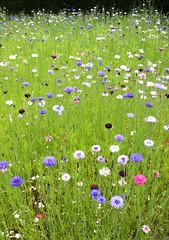 1 Cornflowers, Sissinghurst Castle Garden, Summer 2016 (Jim_Higham) Tags: flowers flower border meadow vita sackvillewest cornflowers sissinghurstcastlegardensummer2016beautifulamazing