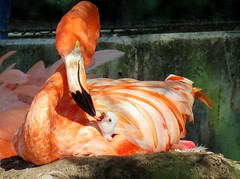 Mother love, a hungry little baby Flamingo. (Betty Olsen) Tags: birds red zoo copenhagen hungry animals nest fether sun love