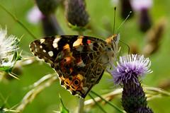 Painted Lady (DSNINE) Tags: ywt yorkshirewildlifetrust butterfly flamborough dsnine painted lady paintedlady