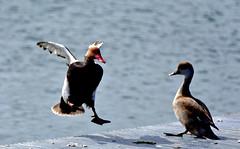 Atterrissage imminent (Diegojack) Tags: nikon nikonpassion d7200 morges lman oiseaux canards netterousse vol