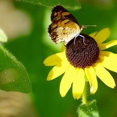 Garden Photos -- Small Butterfly on Rudbeckia 2 (basic edits) (RaymondDukes) Tags: macro animal insect butterfly plant flower rudbeckia