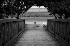 Sentinel (Bert CR) Tags: harbour harbourwalk subtle bridge wildlife canadagoose sentinel bird bw blackandwhite blackwhite monochrome intent bodylanguage