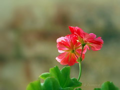 Pelargonium peltatum (R_Ivanova) Tags: flower flowers pelargoniumpeltatum plant nature garden colors color red summer sony rivanova