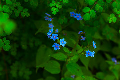 Blue Flowers (saikiran_bathini) Tags: bird animals plants blue flower flowers india hima himalayas fly beaut beautiful water green
