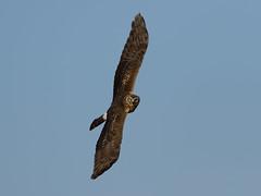 Short-eared Owl (Aso flatteus) at Ackerdijkse Plassen (John Wolters) Tags: ackerdijkseplassen asoflatteus shortearedowl owl velduil uil