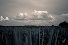 Agave Fields (Fonzzi) Tags: nikon df mexico jalisco sunet clouds cielo tepatitlan tepatitlndemorelos tequila agave campo fields rural