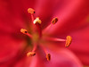 Passion (Karsten Gieselmann) Tags: makro bokeh schärfentiefe focusstacking mzuiko 60mmf28 rot microfourthirds blumen lilie kgiesel blüten dof farbe blossom color flower m43 mft red heliconfocus
