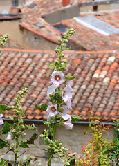 Rose trmire - Lautrec (Maxofmars) Tags: europe europa france francia frankreich frankrijk flora flower village dorf pueblo villaggio dorp aldeia