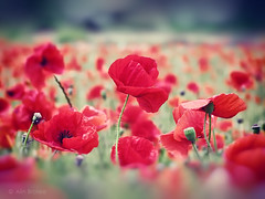 (Alin B.) Tags: alinbrotea nature flower poppy poppies maci red summer