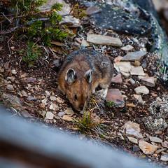 DSC_0078 (Adrian De Lisle) Tags: lakemoraine banffnationalpark banff pika wildlife