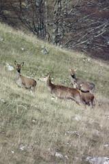 Cervi sul monte Mattone (Luca Pisani) Tags: parco e monte rosso lazio abruzzo molise nazionale cervi cervus mattone elaphus