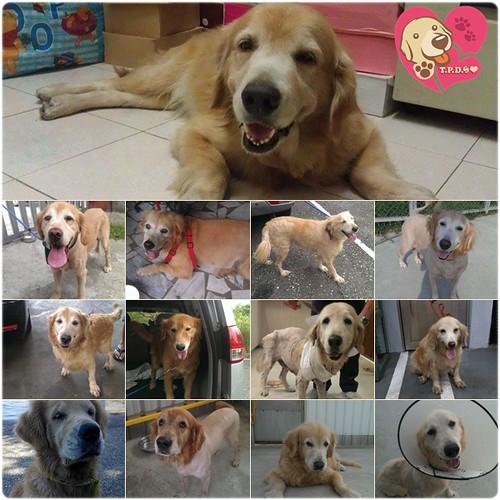 「助認養」桃園狗腳印10月份從各地救援來的黃金獵犬~需要醫療資源助認養可抵稅~謝謝您!20141029