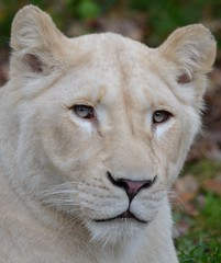 Ilumbo @ Ouwehands Dierenpark 14-11-2014 (Maxime de Boer) Tags: cats white animals zoo big african lion dieren lioness rhenen ouwehands dierentuin leeuwin leeuw dierenpark ouwehand afrikaanse katachtigen ilumbo