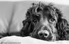 Bazzy Boy (Photo Gal 2009) Tags: black canine blackdog worker cockerspaniel bazil englishcockerspaniel workingcocker
