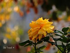 Yellow  rose (StRo92) Tags: flowers autumn flower nature rose yellow nice nikon natureza ngc amman fowers         absolutelyperrrfect nikontop