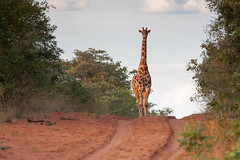 Giraffe on Road (The_Green_Ninja) Tags: africa game azn drive plateau wildlife safari giraffe namibia exodus waterberg